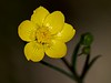 Western buttercup (Ranunculus occidentalis).  080425_9719