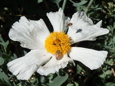 Bees swarming Matilija poppy