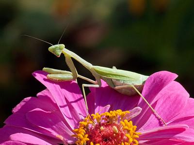Praying mantis in Sheri's garden, Sept. 27, 2011