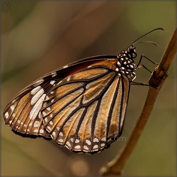 Monarch Milkweed - Danaus plexippus
