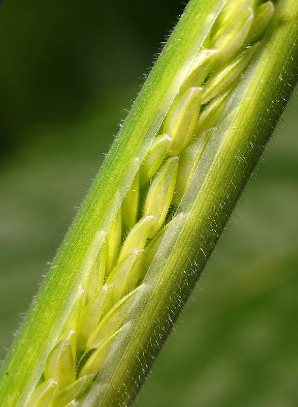 close up of grass stem opening