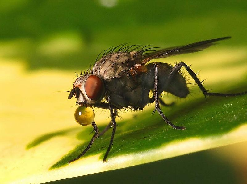 Fly blowing bubbles