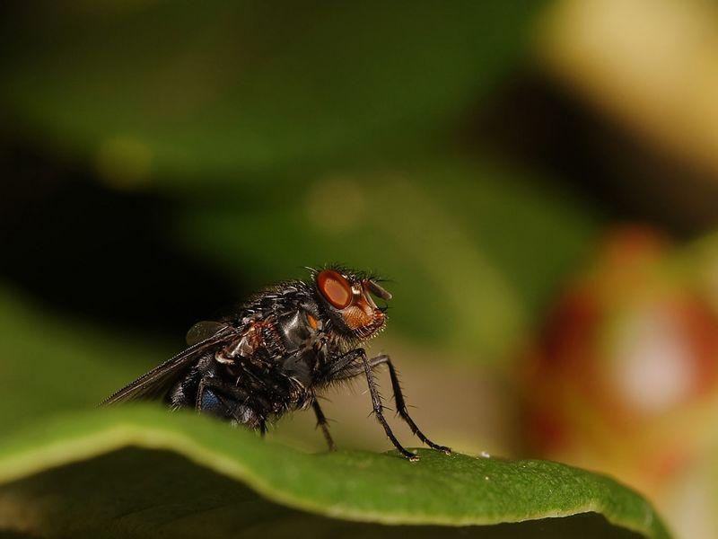 Bluebottle fly looking spiky