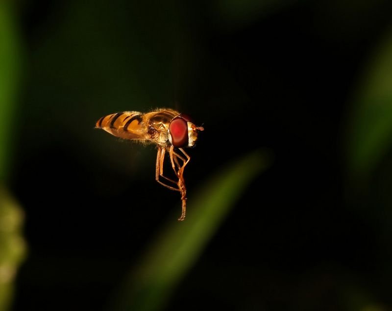 Hoverfly hovering and doing some cleaning Episyrphus balteatus