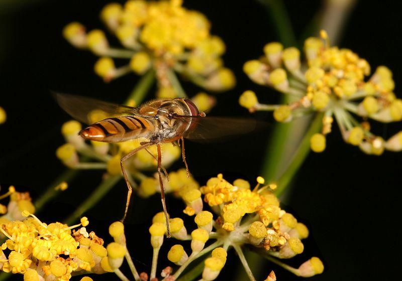 Hoverfly Episyrphus baleatus flying between snacks