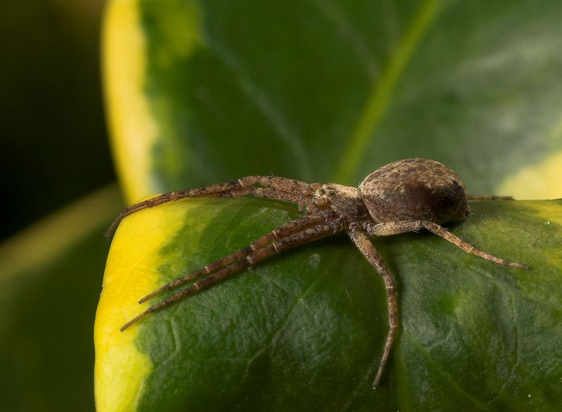 Wolf spider relaxing