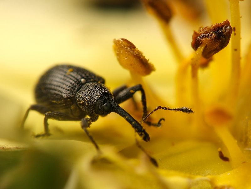 weevil in Potentilla bloom taken at 2.8:1 with a reversed 50mm lens in front of my 1:1 macro lens