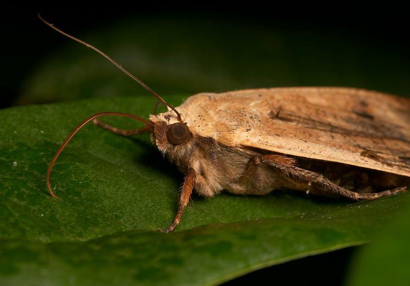 Thirsty moth