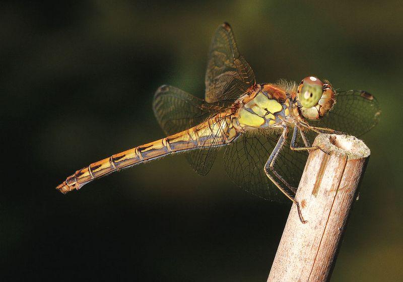Dragonfly female Sympetrum striolatum - Common Darter