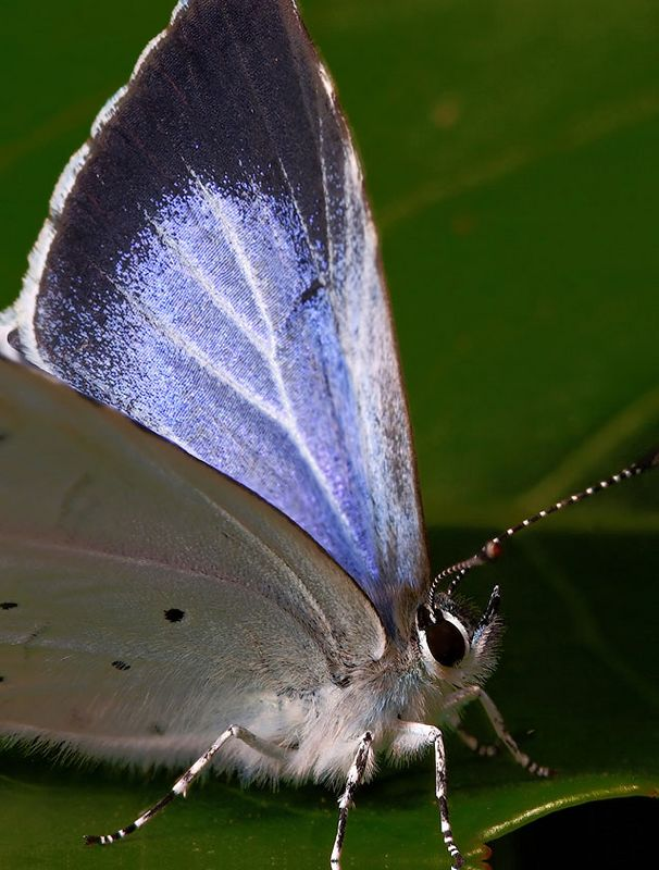 Holly blue butterfly image focus stacked from 2 images