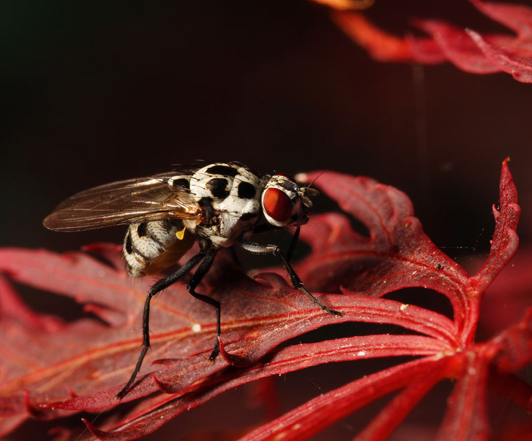 Fly in snazzy outfit possibly Graphomya maculata sitting on Acer leaf