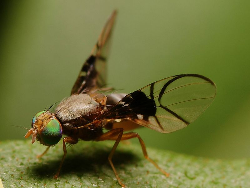Small fruit fly doing it's display dance