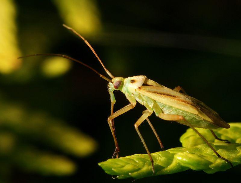 Sap sucking plant bug
