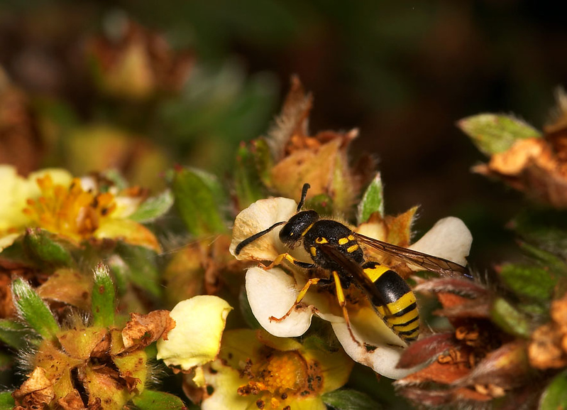 solitary digger wasp looking for a caterpillar