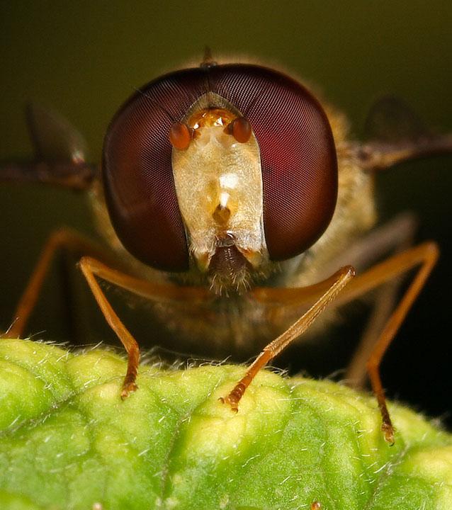 Hoverfly Episyrphus baleatus