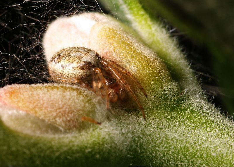 Spider pretending to be a plant bud