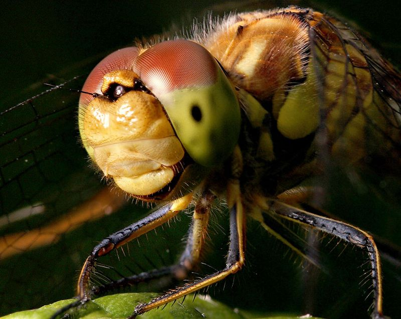headshot of dragonfly Sympetrum striolatum - Common Darter- image focus stacked from 2 pics