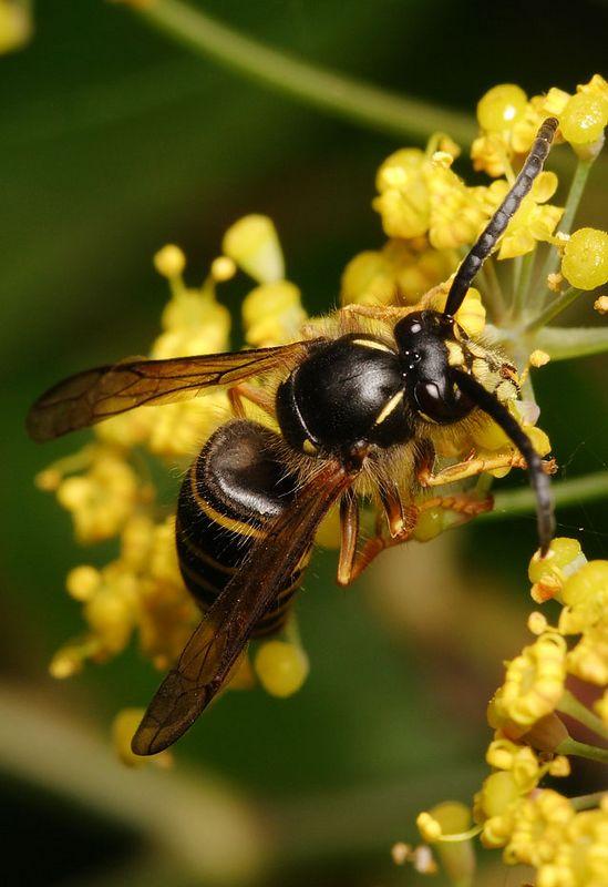 Median Wasp on Fennel flowers