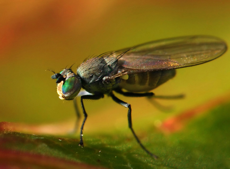 Small fruit fly