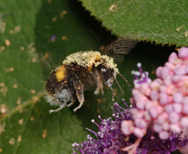 Bumble Bee in flight