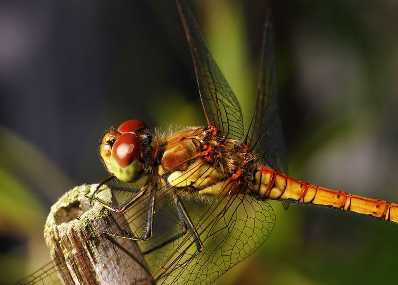 Dragonfly Sympetrum striolatum - Common Darter