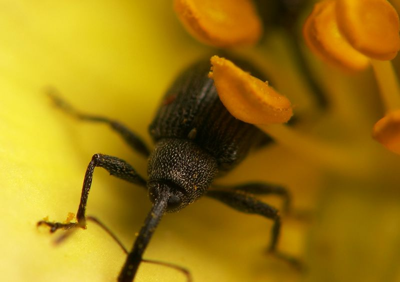 tiny weevil in a potentilla flower
