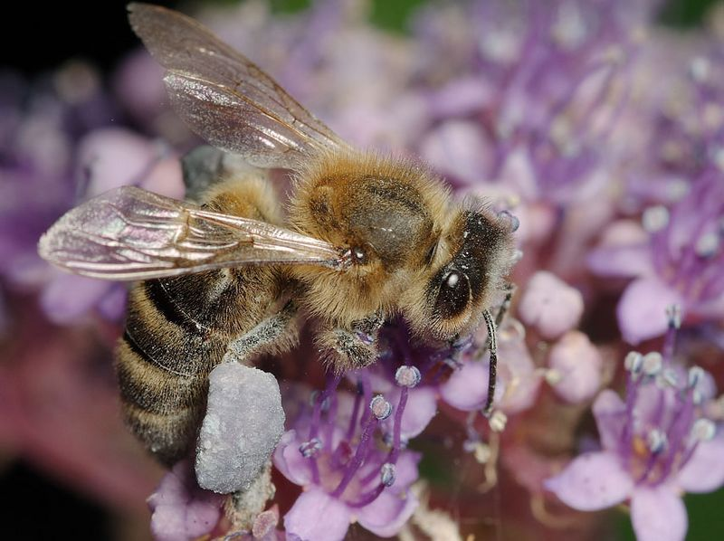 Honey bee on lace hydrangea