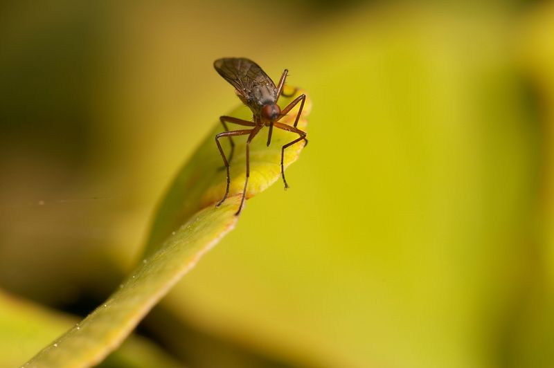 dance fly focus stack pic#2