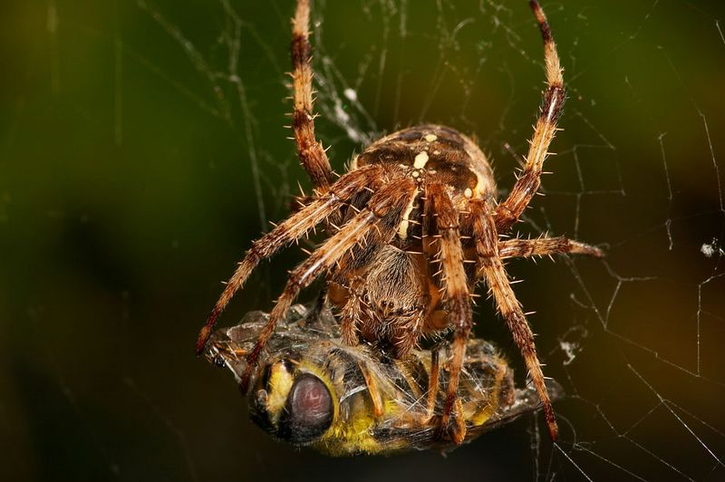 Common orb web spider with fresh hoverfly kill