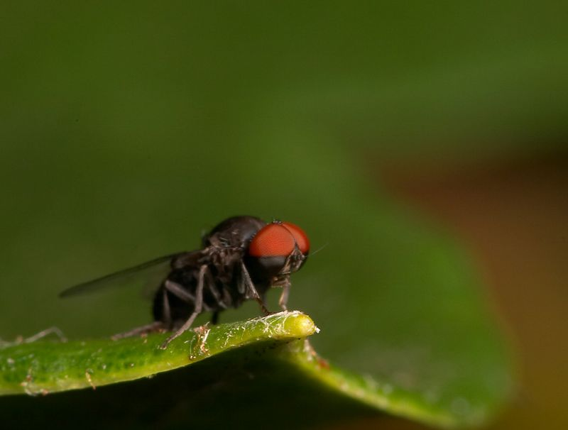 Very small fly (about 5mm) liked the eyes