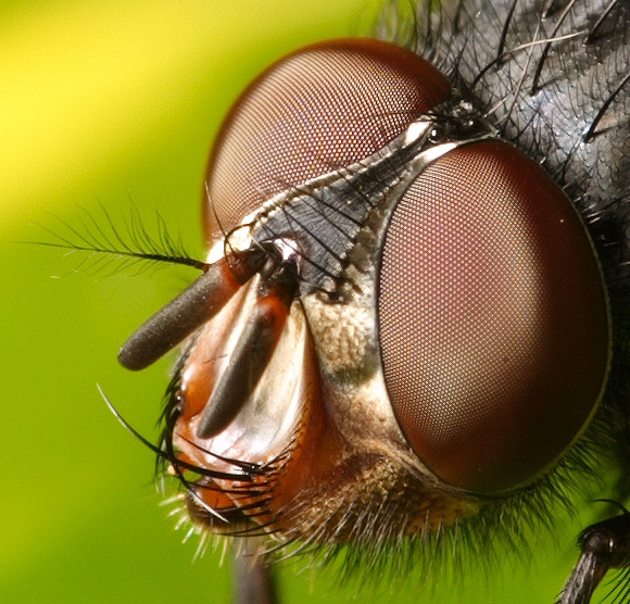 Housefly closeup