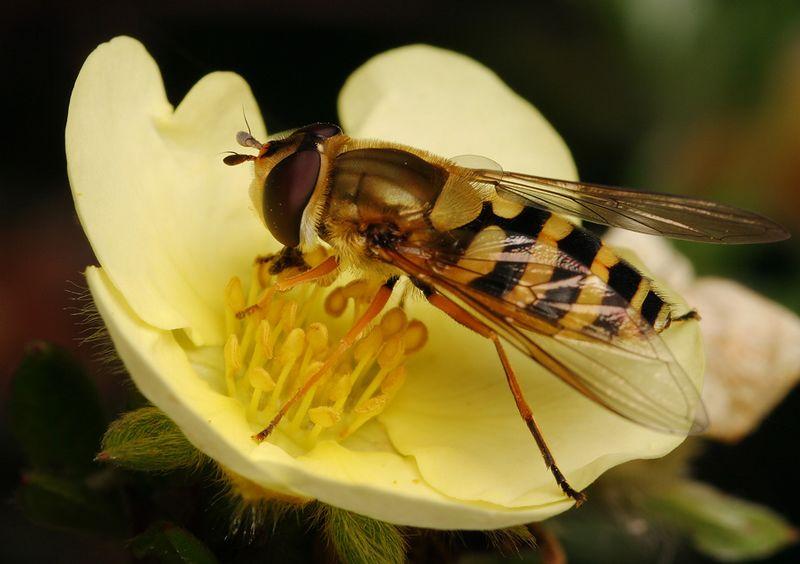 Hoverfly Syrphus ribesii on potentilla bloom