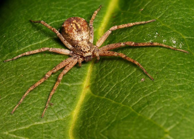 Wolf spider- image focus stacked from 4 pics