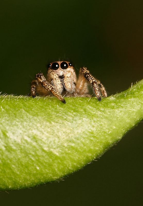 Small jumping spider on a climbing bean