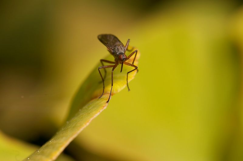 dance fly focus stack pic#1