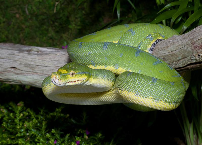 Emerald Boa #1