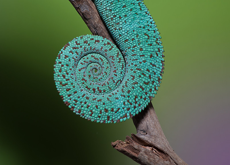Nosey Be Panther Chameleon's tail