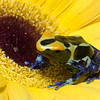 Poison Dart Frog on Gerber Daisy
