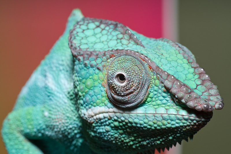 Nosey Be Panther Chameleon