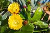 180530 - 3023 Cactus Flowers - Monterosso, Italy