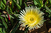 170405 - 0340 Ice Plant Succulent - San Diego, CA