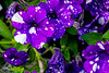 180530 - 3034 Petunias, Monterosso, Italy