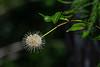 210424 - 3554 Button Bush Flower