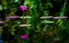 180210 - 4026 Water Lily - Miami, FL