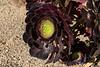 170405 - 0385 Succulents, Aeoniums - San Diego, CA