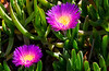 170405 - 0341 Ice Plant Succulents - San Diego Flowers