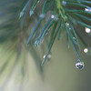 Morning dew on a blue spruce