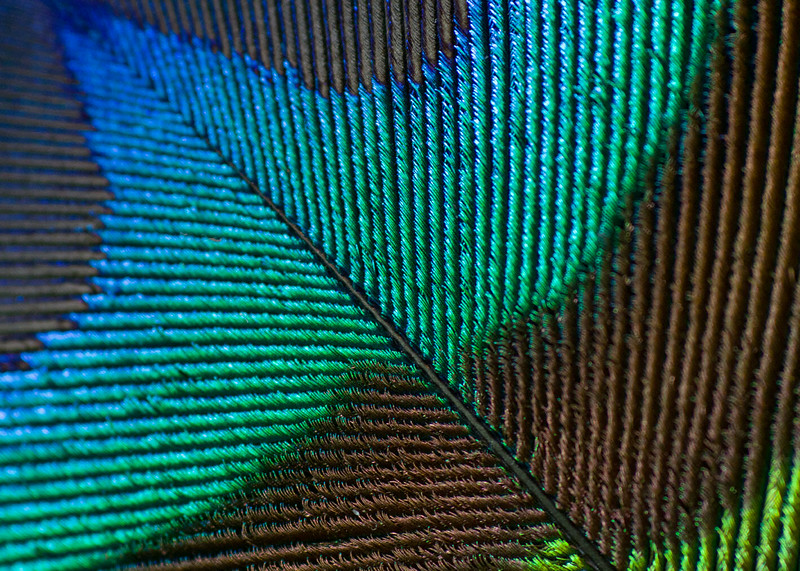 Macro detail of a peacock feather #1
