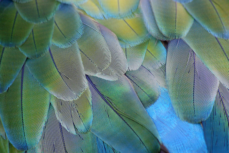 Parrot feathers in detail