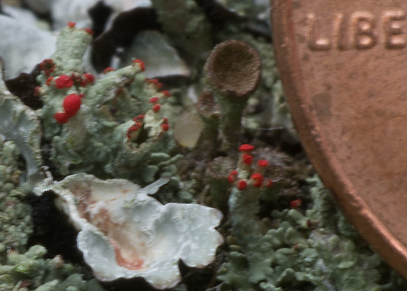 A penny edge shows the scale of this tiny lichen.